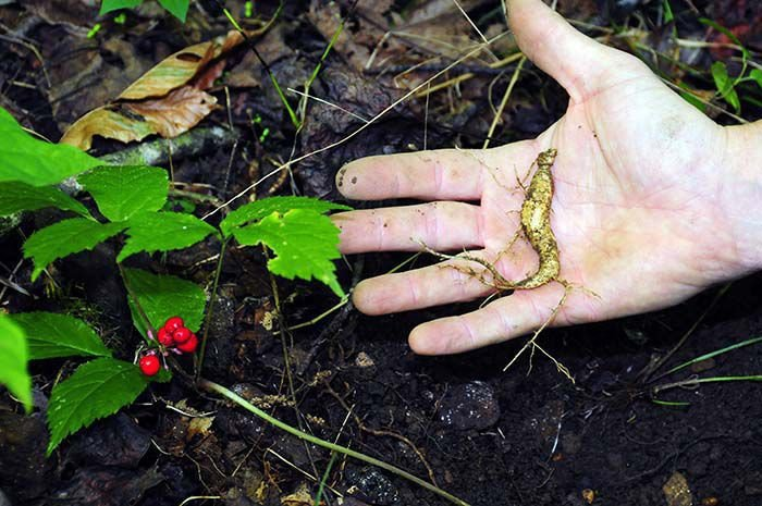 The Roots Of Wild Ginseng Plant Which Can Be Found In All 55 West Virginias Counties Sold For From 200 To 700 Per Lb Depending On