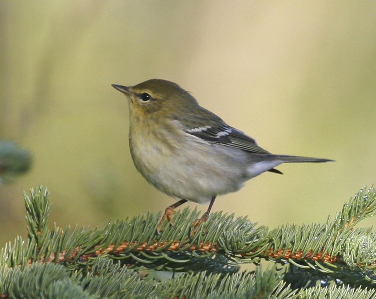 The Blackpoll Warbler