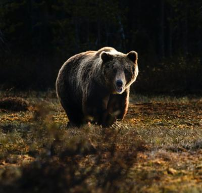 Grizzly bear file photo