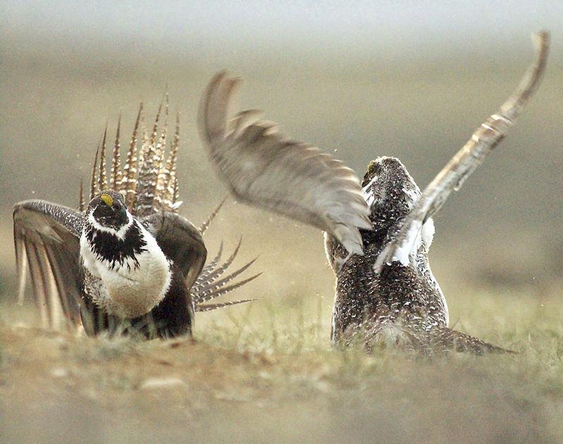 Judge strikes down US energy leasing rules in bird habitat