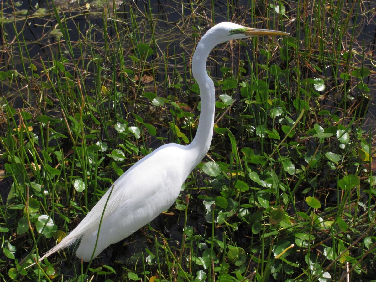 2020-09 Great Egret 2015-02-25 Green Cay Wetlands FL-Barb Gorges.JPG