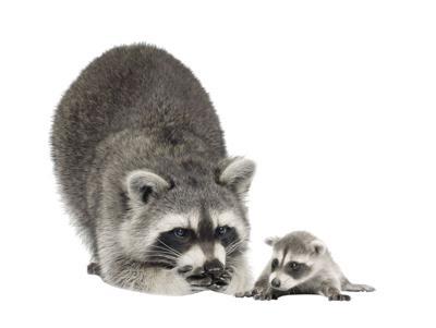20190916-file-Raccoon and baby.jpg