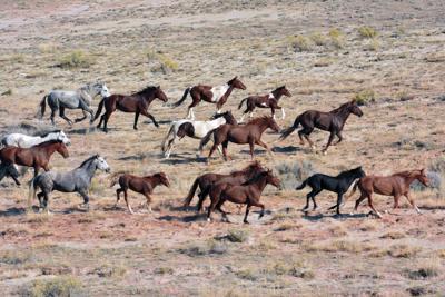 Wild horse gather (copy)