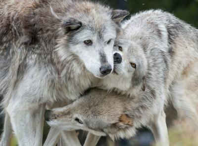 yellowstone wolves file