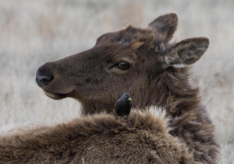 Elk in Powell (via Wyoming News Exchange)
