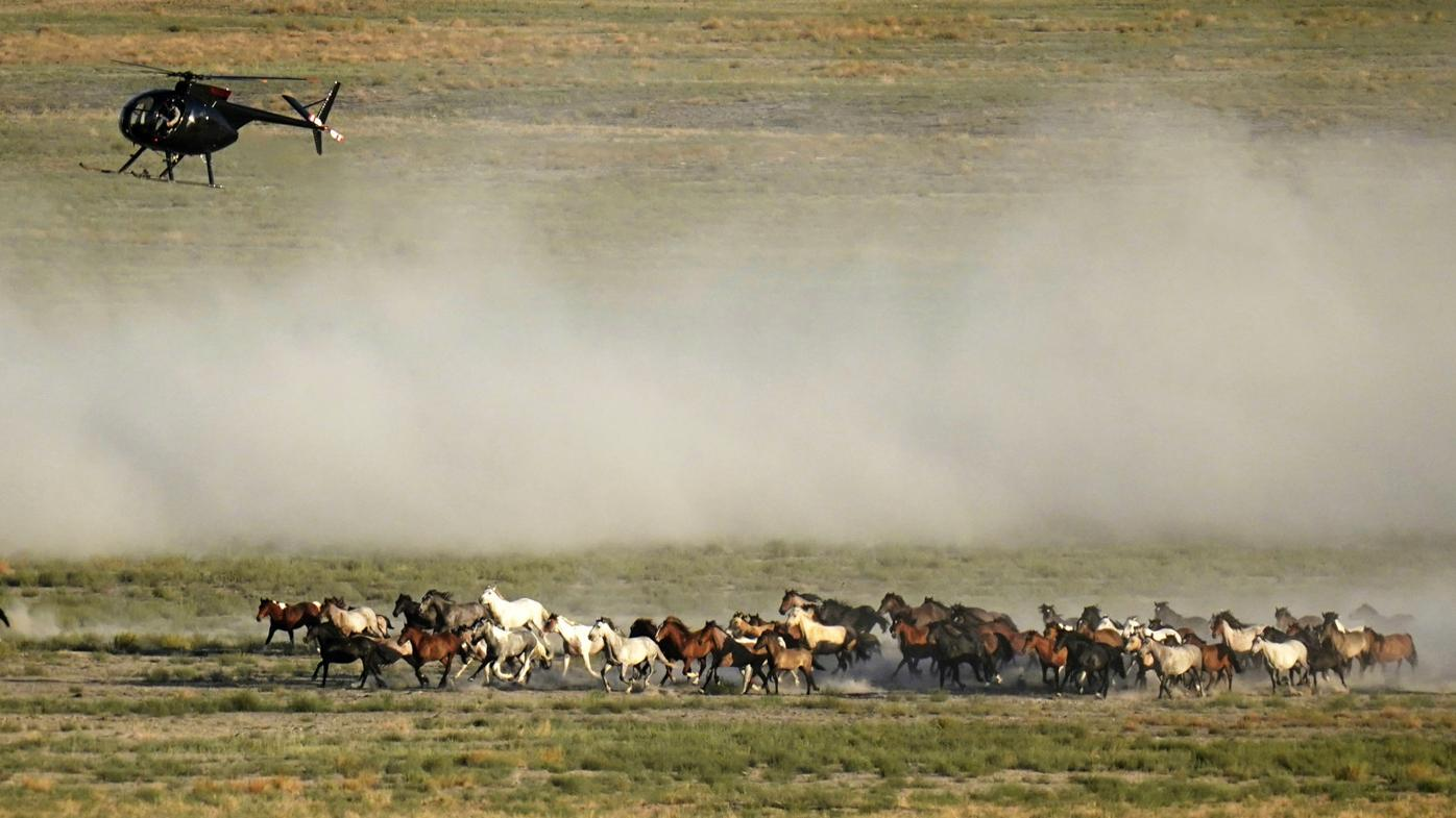 Wild Horse Roundups Colorado