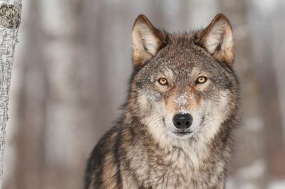 Gray wolf STOCK.jpg