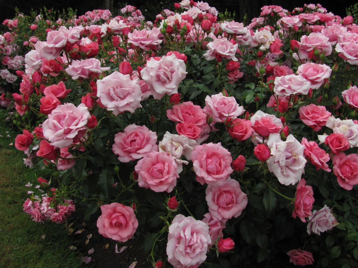 2 Stanley Park rose garden, Barb Gorges.JPG
