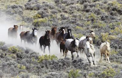 BLM wild horse gather Southwest Wyoming