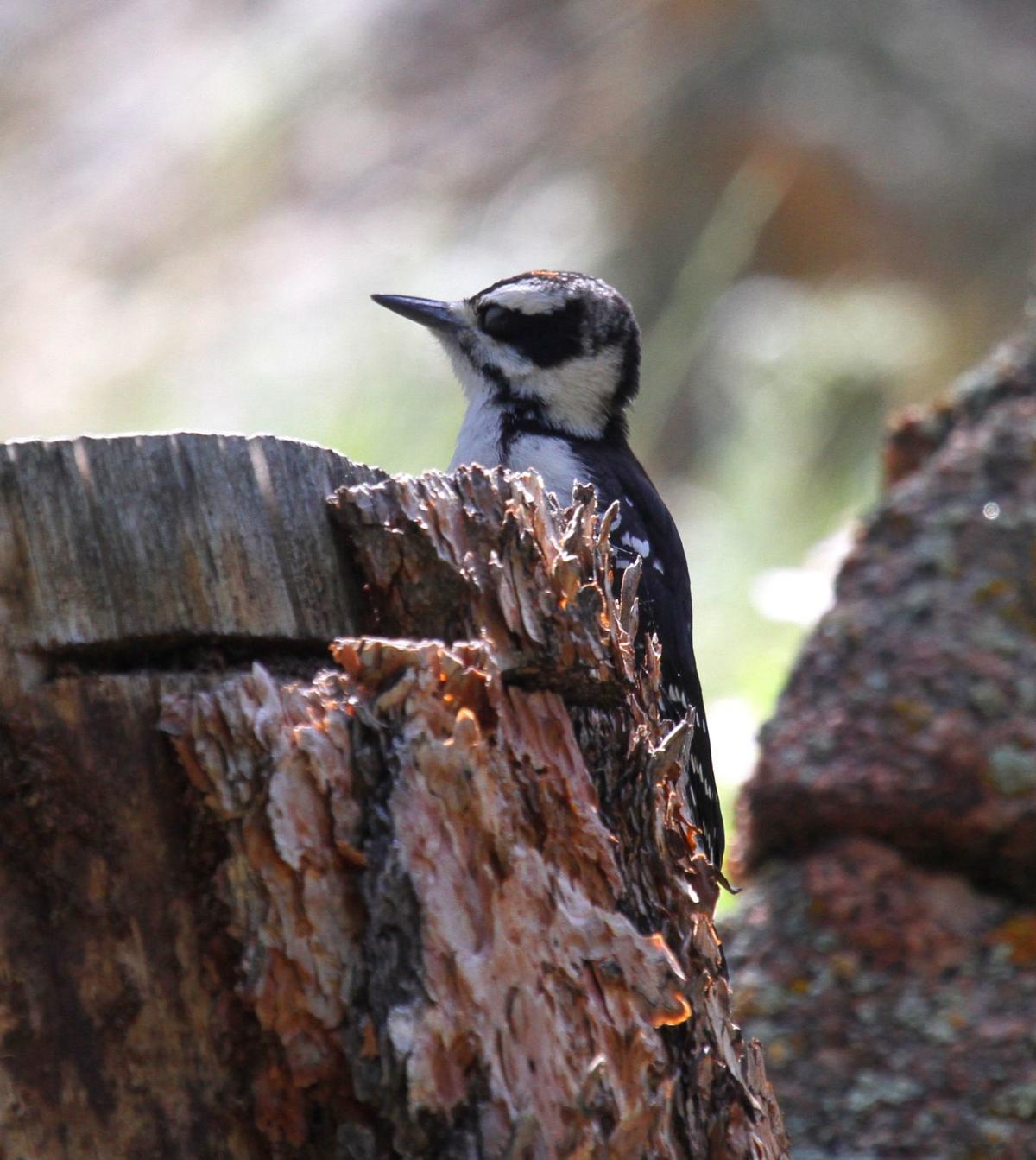 2020-07 Downy Woodpecker by Greg Johnson.JPG