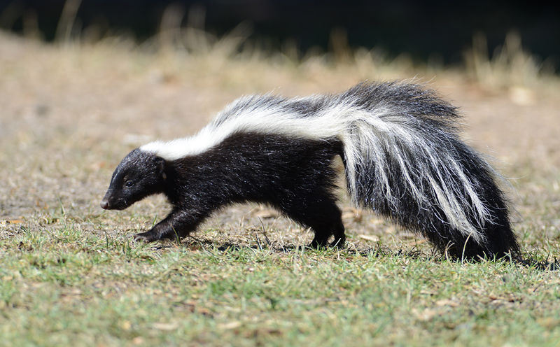 Rabies moves north through Wyoming, risk to humans remains low