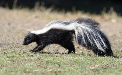 skunk STOCK.jpg