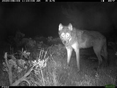 Gray Wolves Pups