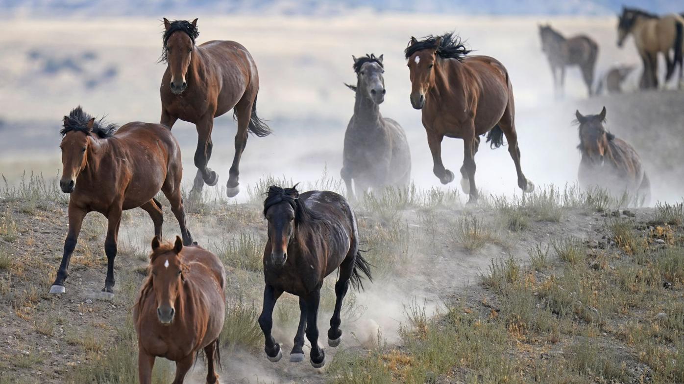 APTOPIX Wild Horses Roundups