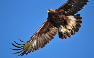 Golden eagle-Tom Koerner