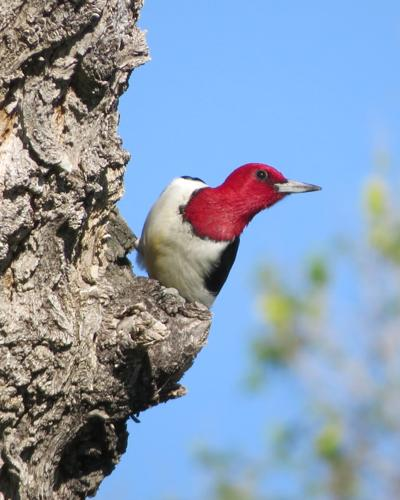 2020-06Red-headed%20Woodpecker%20by%20Mark%20Gorges