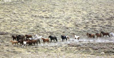 BLM horse roundup Red Desert (copy)