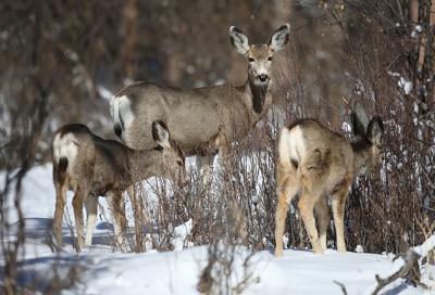 mule deer file