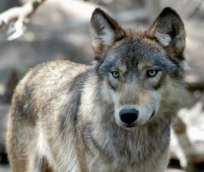 Wyoming Wolves FILE