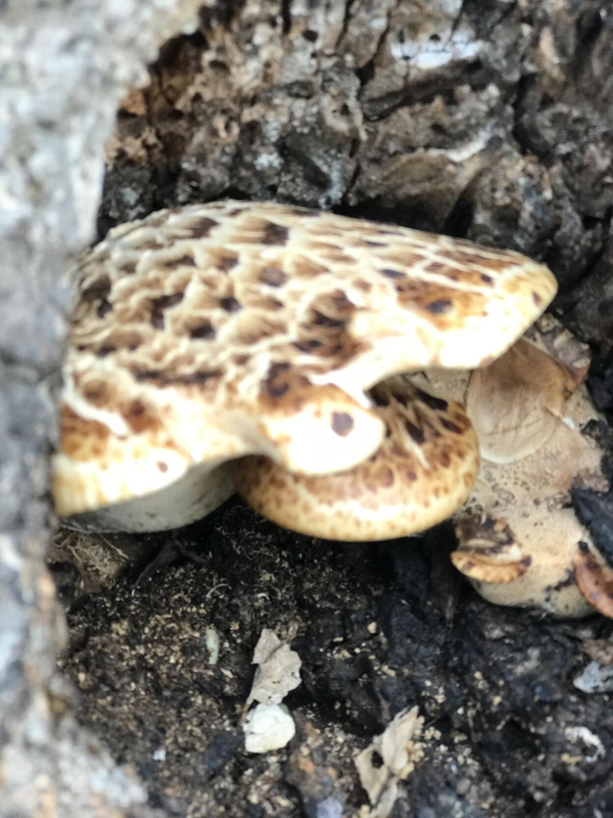Pheasant Back Mushrooms