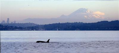 Orcas and Gray Whales Running in Puget Sound | Local Sports