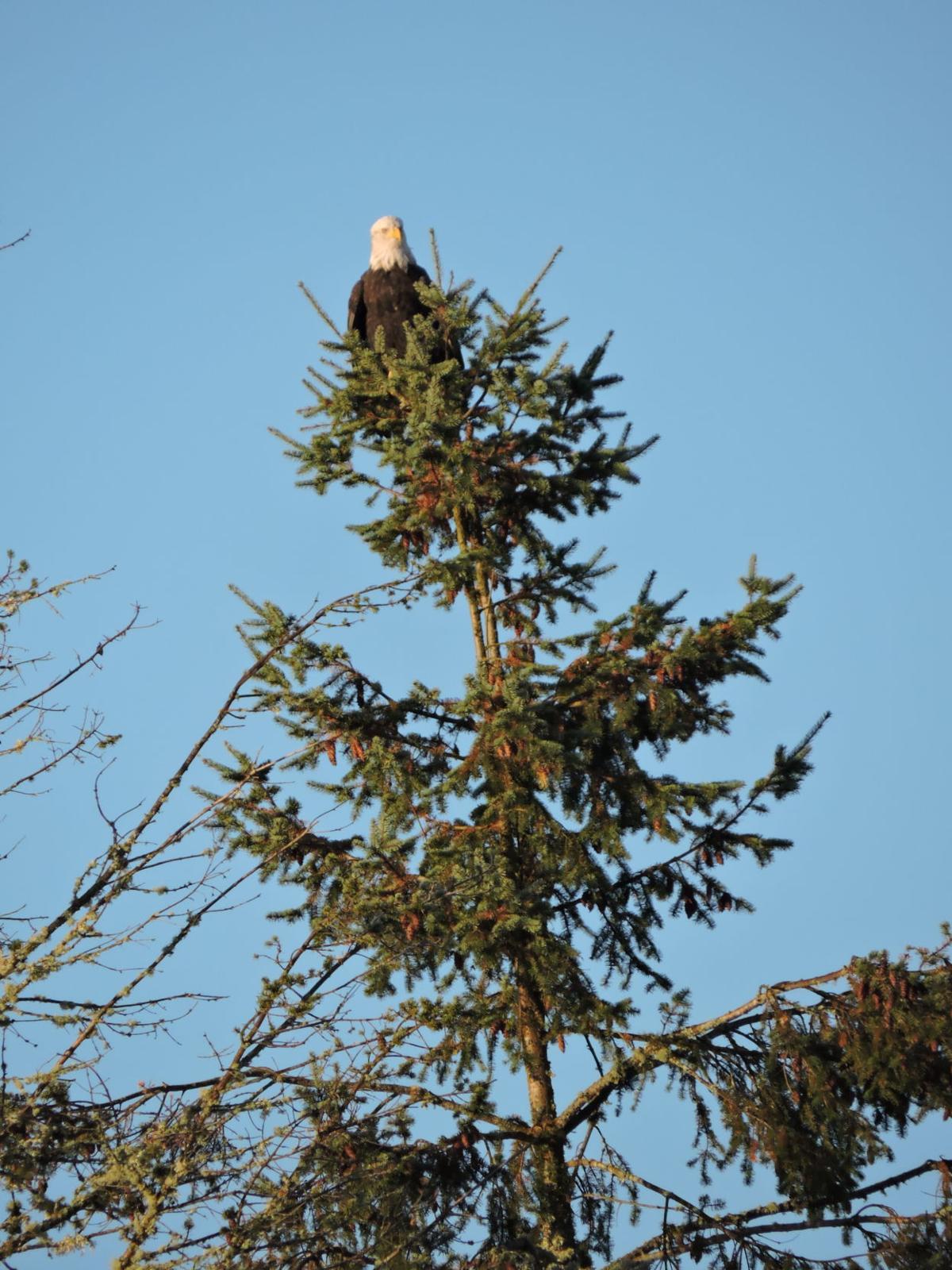 1 Bald eagle overlord.JPG