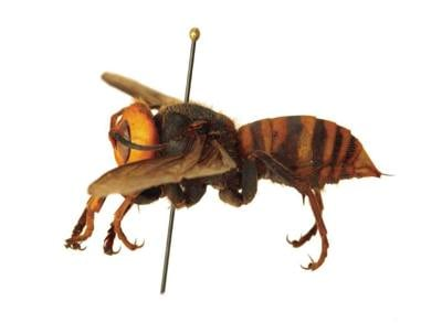 Department of Agriculture Asks the Public to Help Protect Honeybees and Report Sightings of Asian Giant Hornet