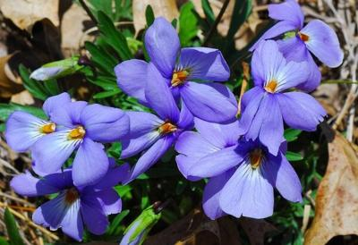 Viola pedata by Joshua Mayer